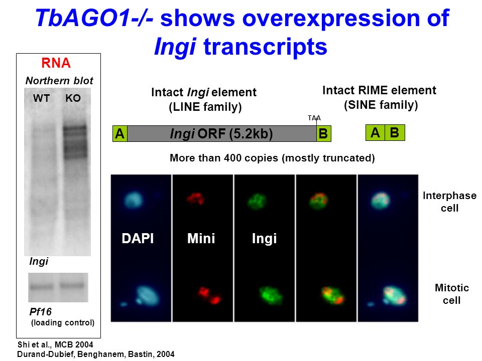 TbAGO1-/- shows overexpression of Ingi transcripts