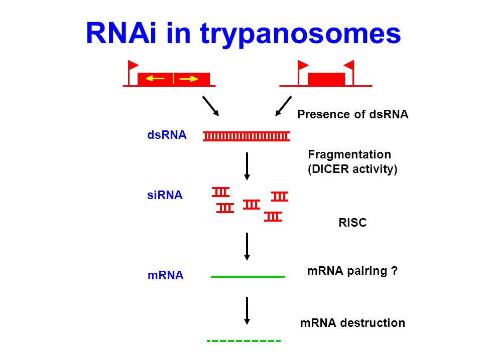 RNAi in trypanosomes Presence of dsRNA dsRNA Fragmentation