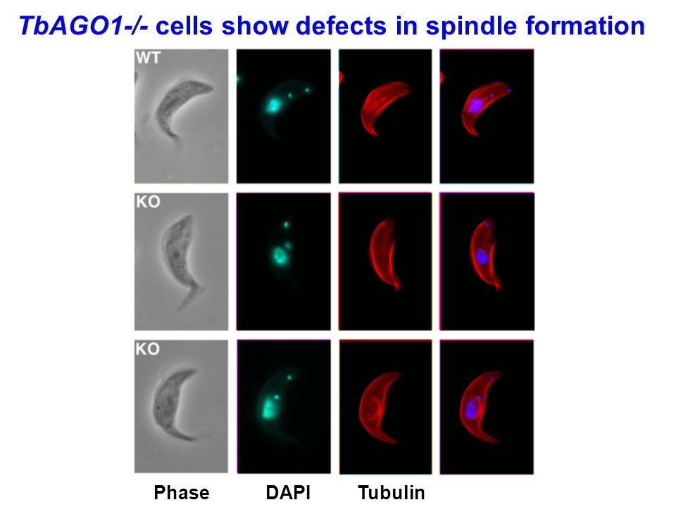 TbAGO1-/- cells show defects in spindle formation