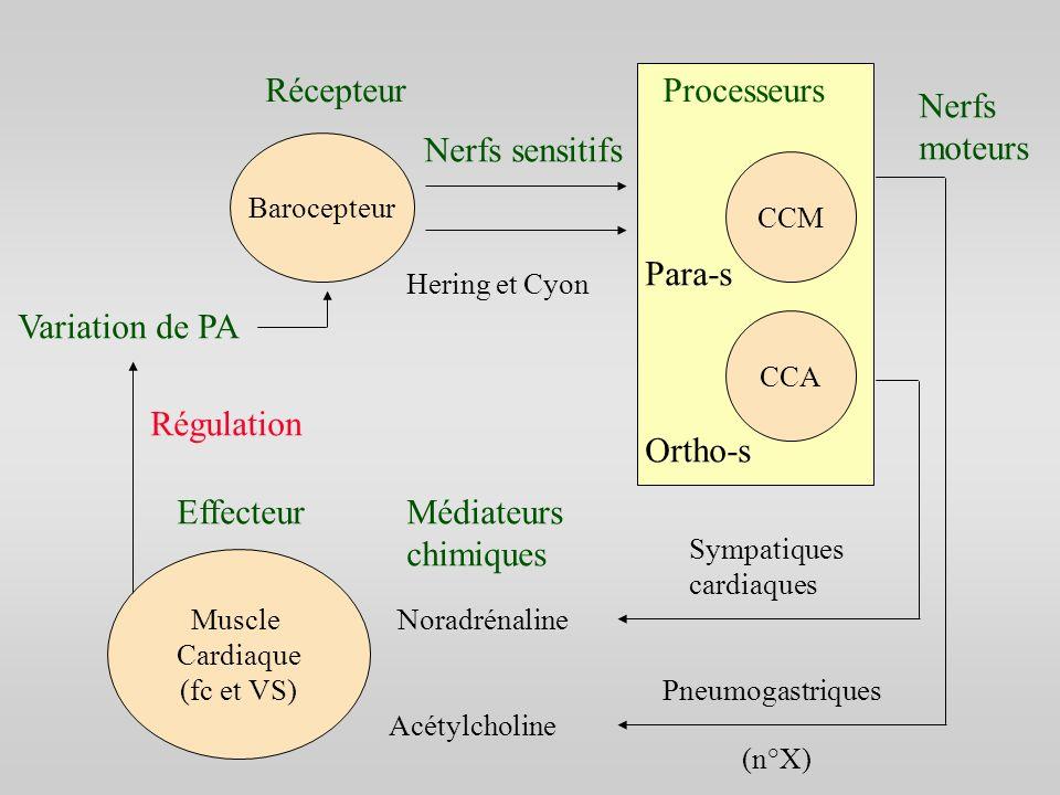 Récepteur Processeurs Nerfs moteurs Nerfs sensitifs Para-s