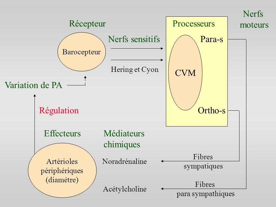 Nerfs moteurs Récepteur Processeurs Nerfs sensitifs Para-s CVM