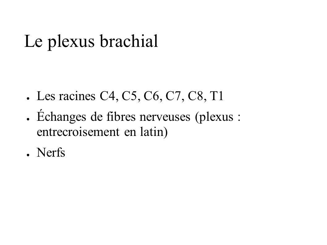 Le plexus brachial Les racines C4, C5, C6, C7, C8, T1