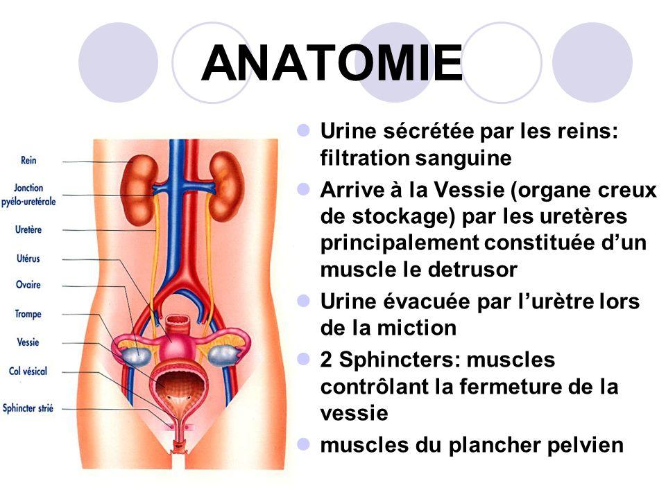 ANATOMIE Urine sécrétée par les reins: filtration sanguine