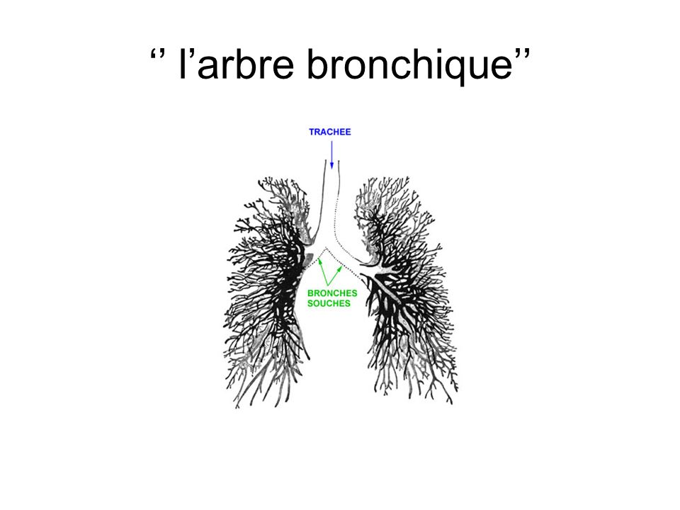 '' l'arbre bronchique''