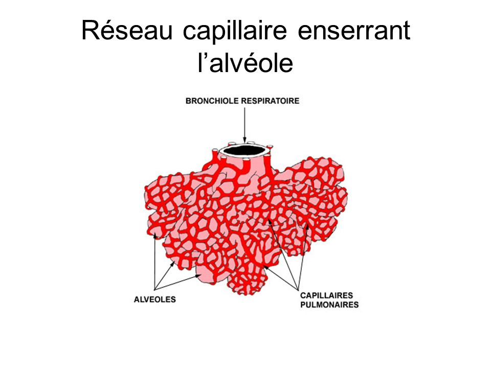Réseau capillaire enserrant l'alvéole