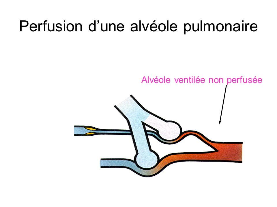 Perfusion d'une alvéole pulmonaire