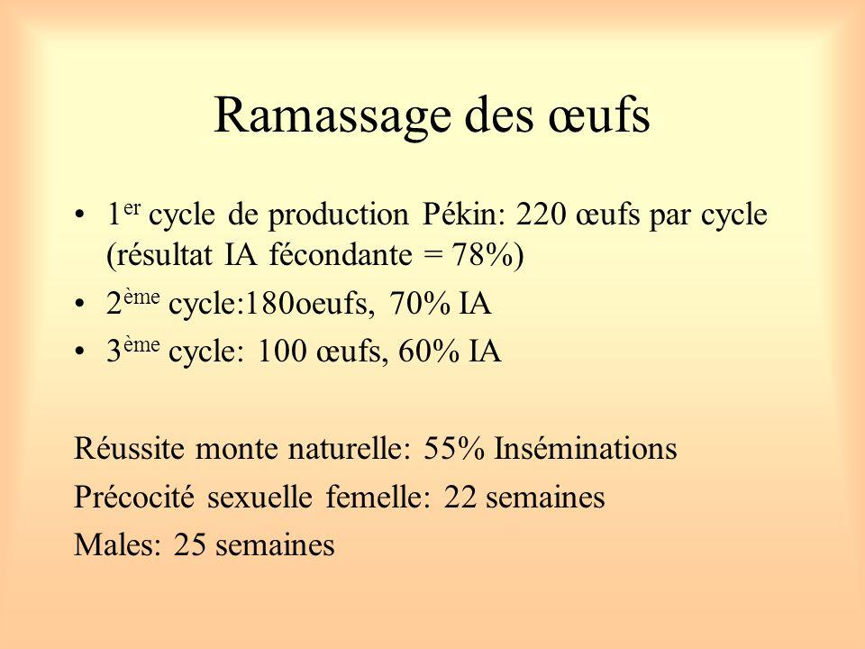 Ramassage des œufs 1er cycle de production Pékin: 220 œufs par cycle (résultat IA fécondante = 78%)