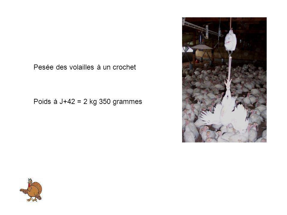 Pesée des volailles à un crochet