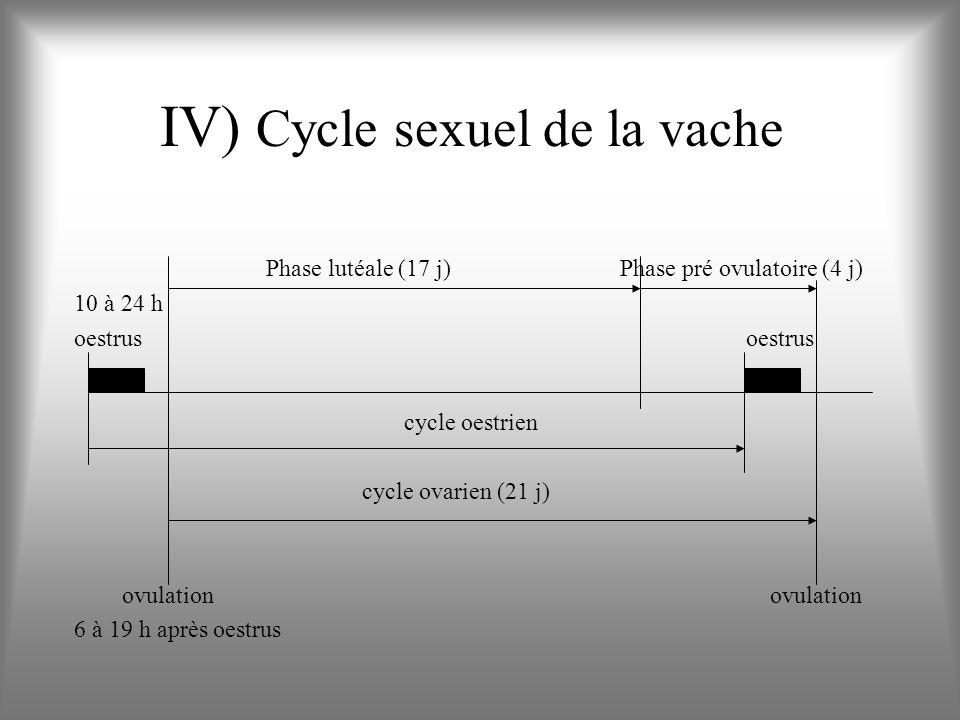 IV) Cycle sexuel de la vache