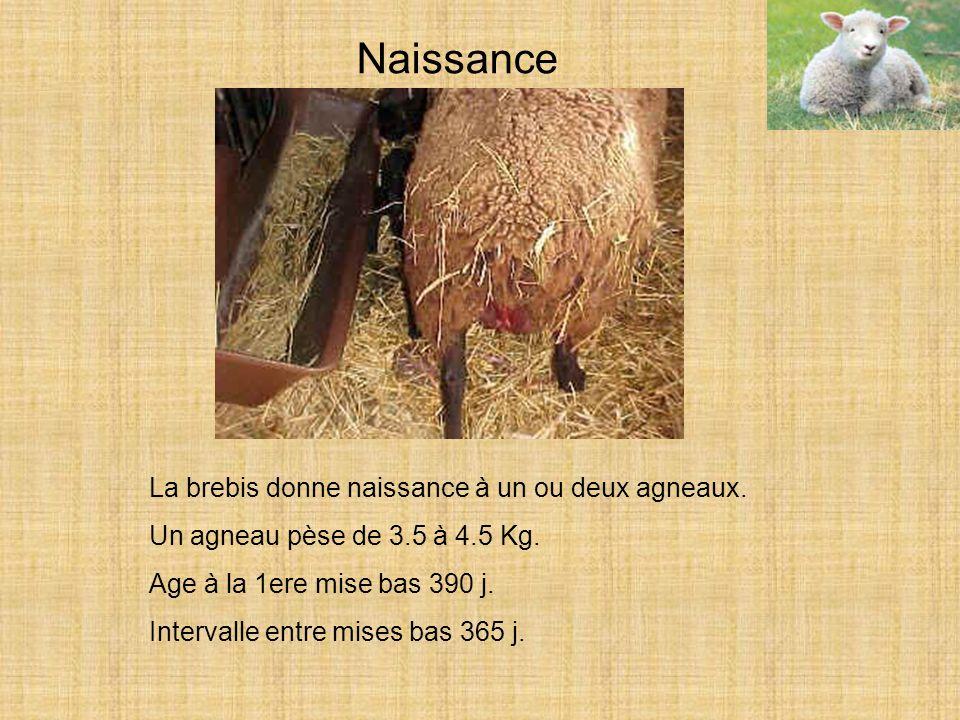 Naissance La brebis donne naissance à un ou deux agneaux.
