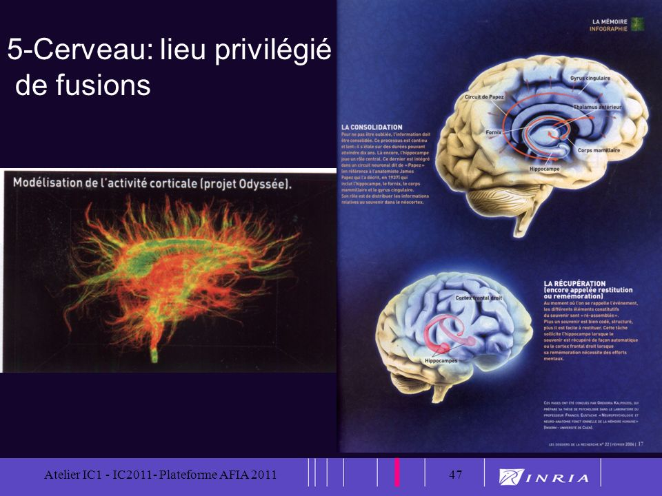 5-Cerveau: lieu privilégié de fusions