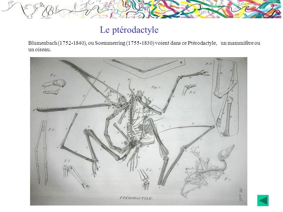 Le ptérodactyleBlumenbach (1752-1840), ou Soemmerring (1755-1830) voient dans ce Ptérodactyle, un mammifère ou un oiseau.