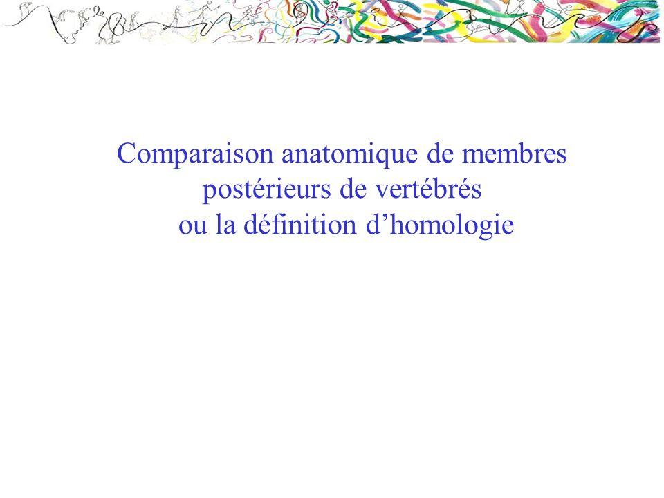 Comparaison anatomique de membres postérieurs de vertébrés ou la définition d'homologie