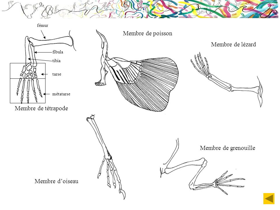 Membre de poisson Membre de lézard Membre de tétrapode