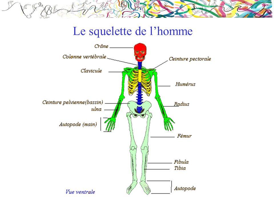 Le squelette de l'homme