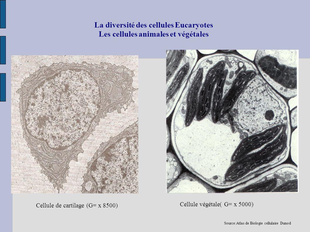 La diversité des cellules Eucaryotes Les cellules animales et végétales