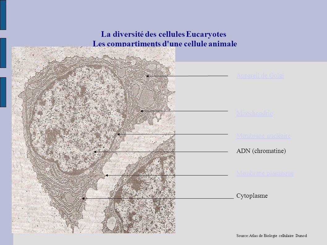 La diversité des cellules Eucaryotes Les compartiments d une cellule animale