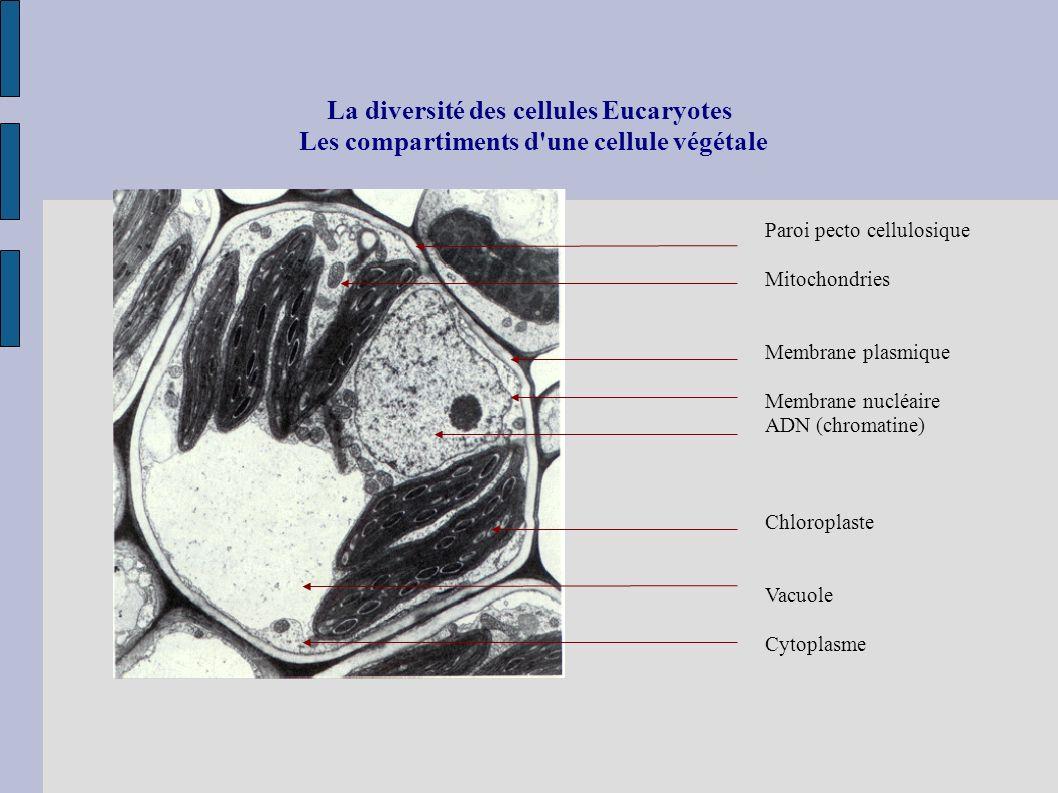 La diversité des cellules Eucaryotes Les compartiments d une cellule végétale