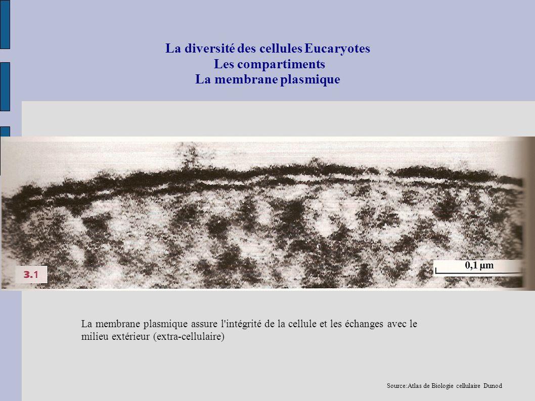 La diversité des cellules Eucaryotes Les compartiments La membrane plasmique