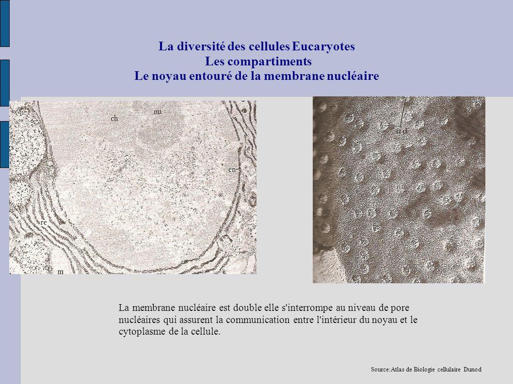 La diversité des cellules Eucaryotes Les compartiments Le noyau entouré de la membrane nucléaire