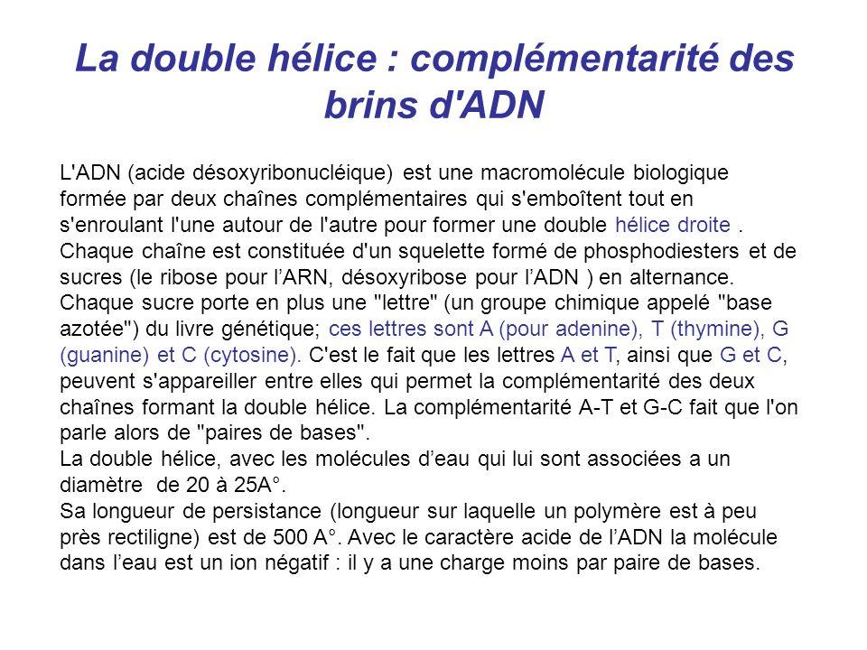 La double hélice : complémentarité des brins d ADN