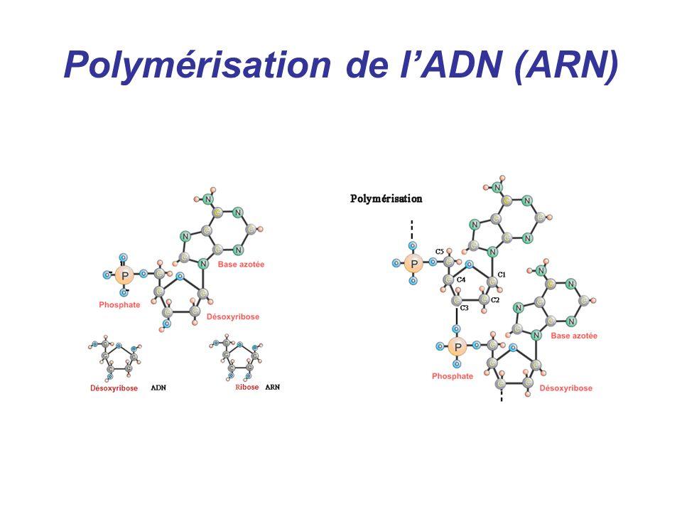 Polymérisation de l'ADN (ARN)