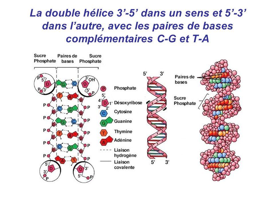 La double hélice 3'-5' dans un sens et 5'-3' dans l'autre, avec les paires de bases complémentaires C-G et T-A