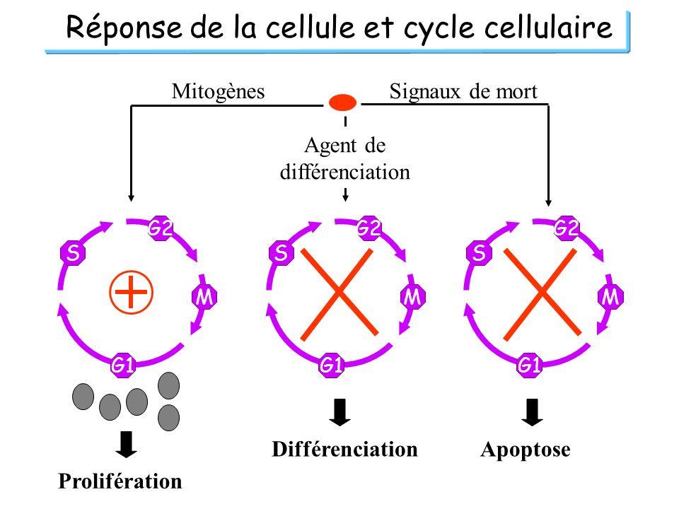Réponse de la cellule et cycle cellulaire