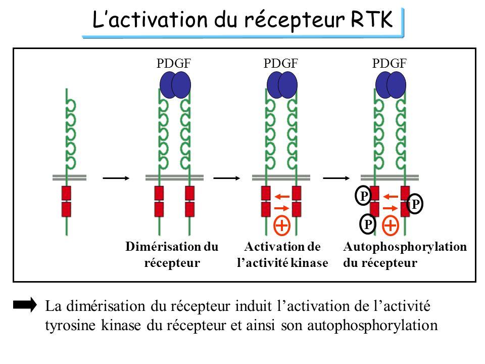Dimérisation du récepteur Activation de l'activité kinase