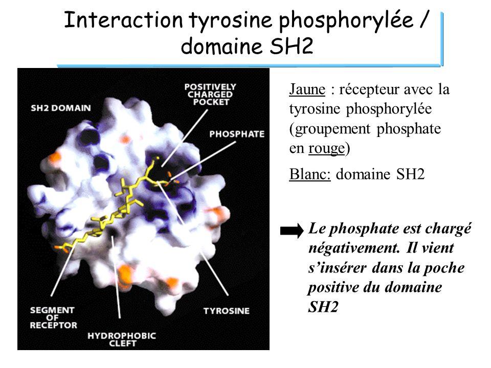 Interaction tyrosine phosphorylée / domaine SH2