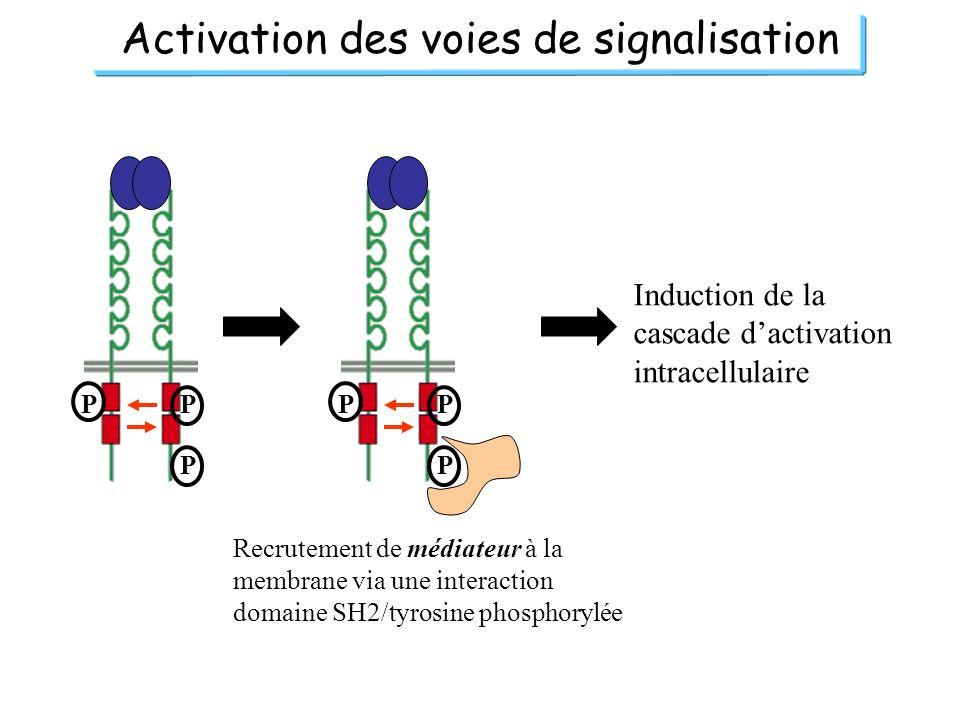 Activation des voies de signalisation