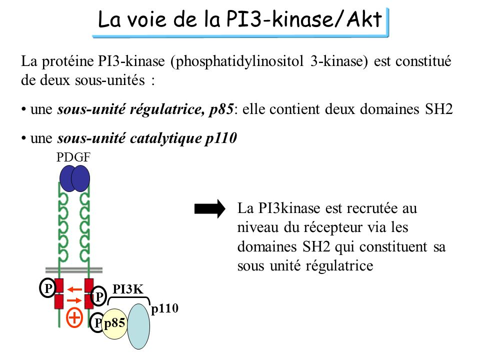 La voie de la PI3-kinase/Akt