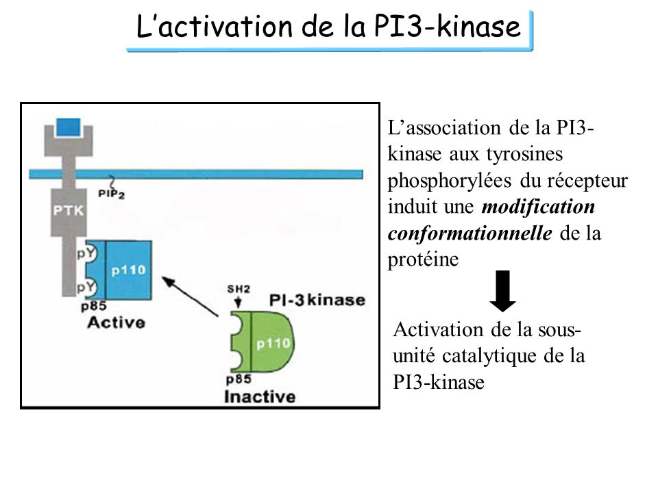 L'activation de la PI3-kinase