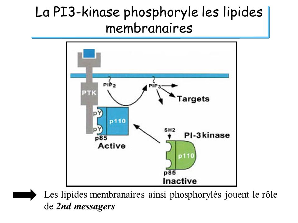 La PI3-kinase phosphoryle les lipides membranaires