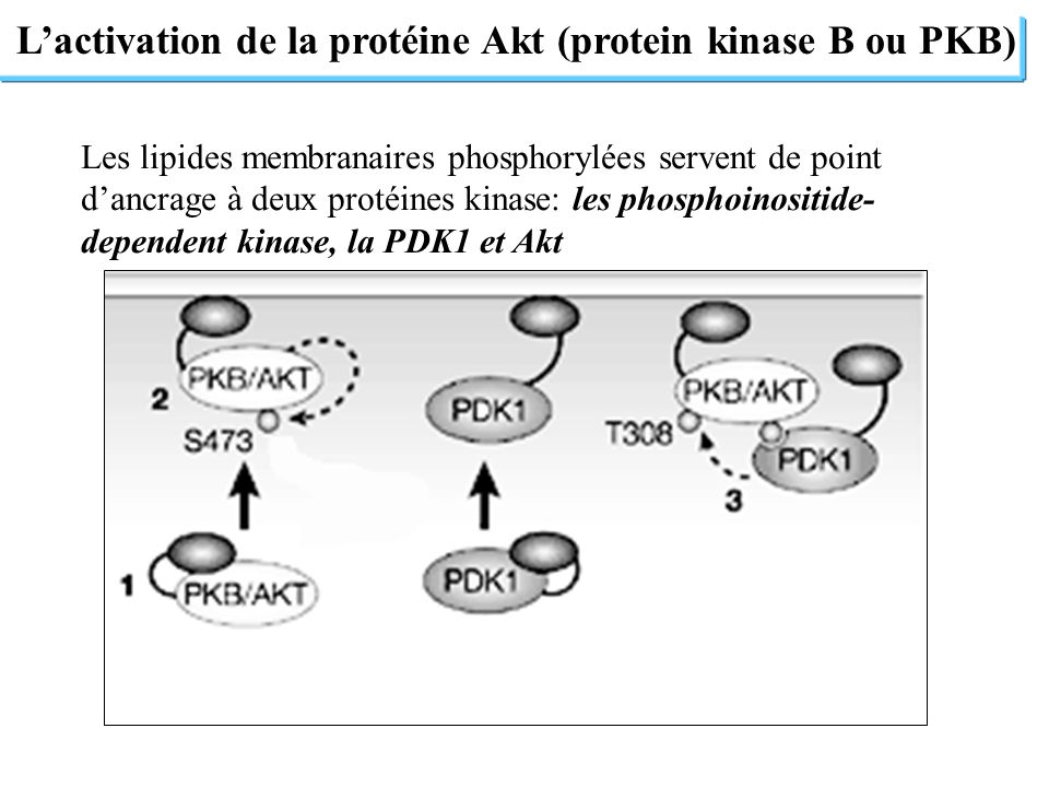L'activation de la protéine Akt (protein kinase B ou PKB)