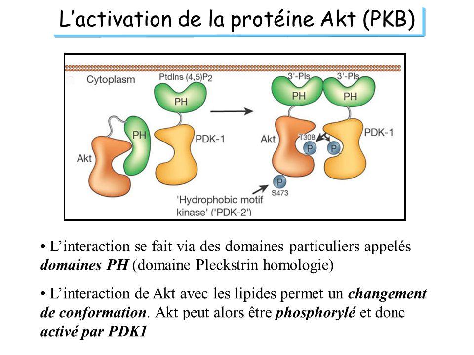L'activation de la protéine Akt (PKB)
