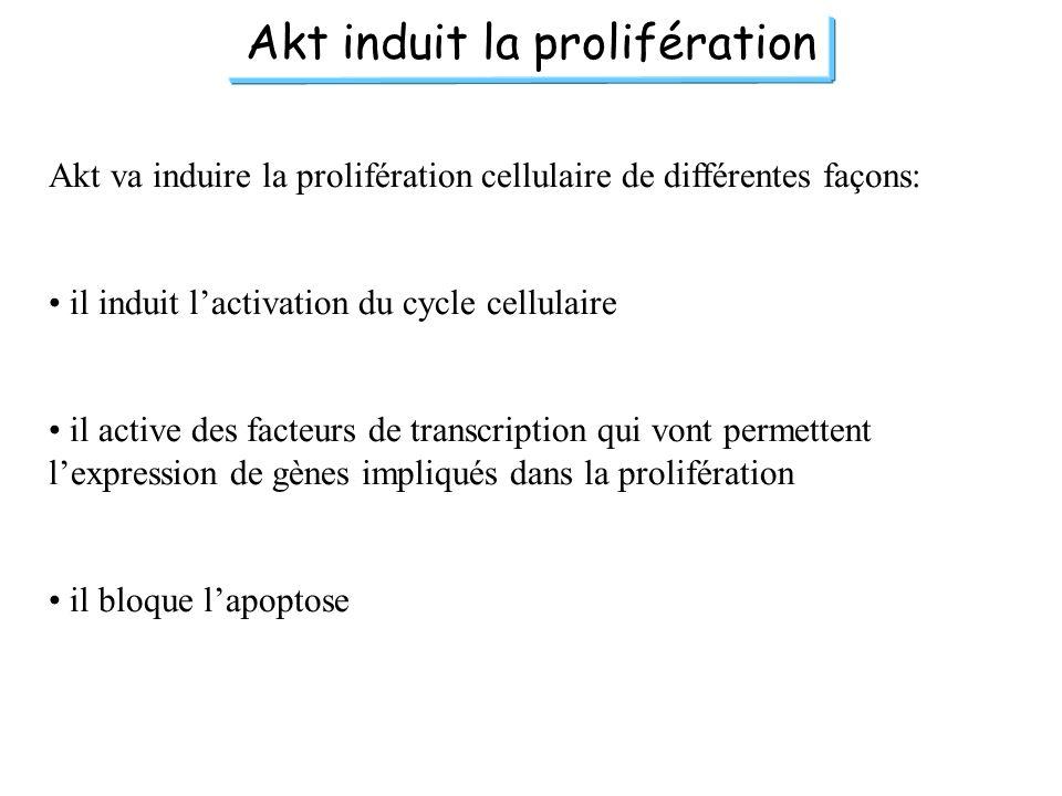 Akt induit la prolifération
