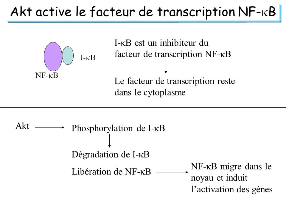Akt active le facteur de transcription NF-kB