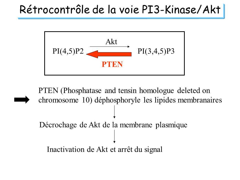 Rétrocontrôle de la voie PI3-Kinase/Akt