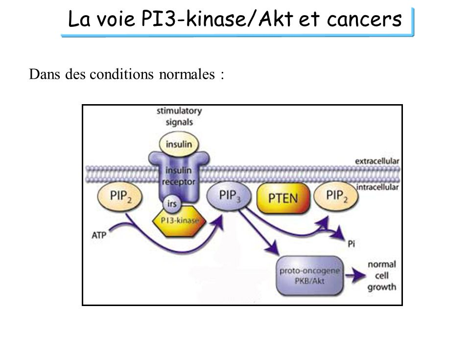La voie PI3-kinase/Akt et cancers