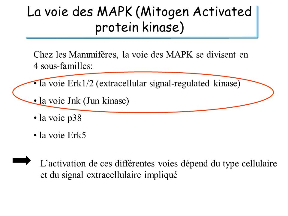 La voie des MAPK (Mitogen Activated protein kinase)
