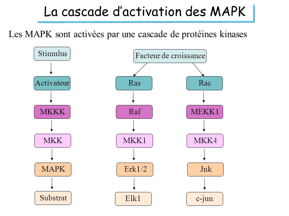 La cascade d'activation des MAPK