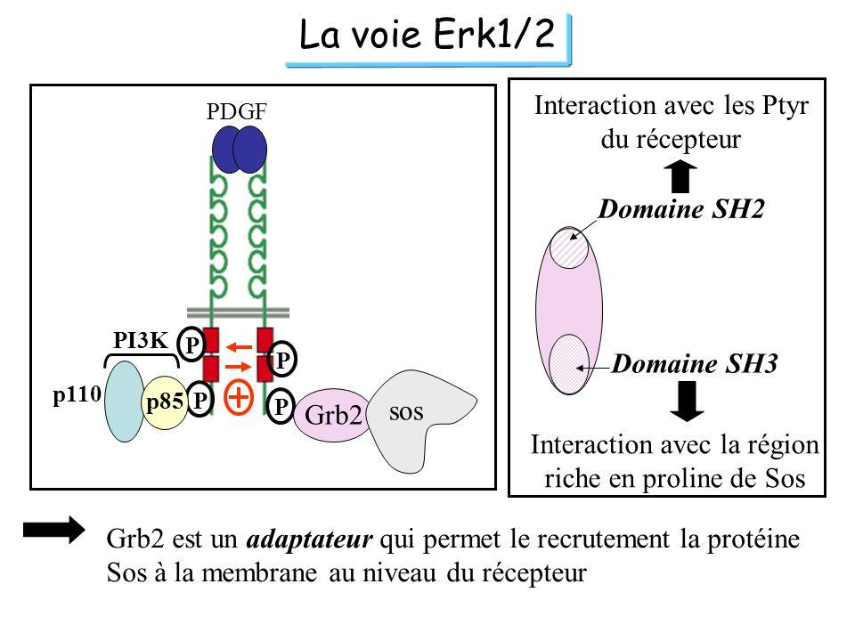 La voie Erk1/2 Interaction avec les Ptyr du récepteur Domaine SH2
