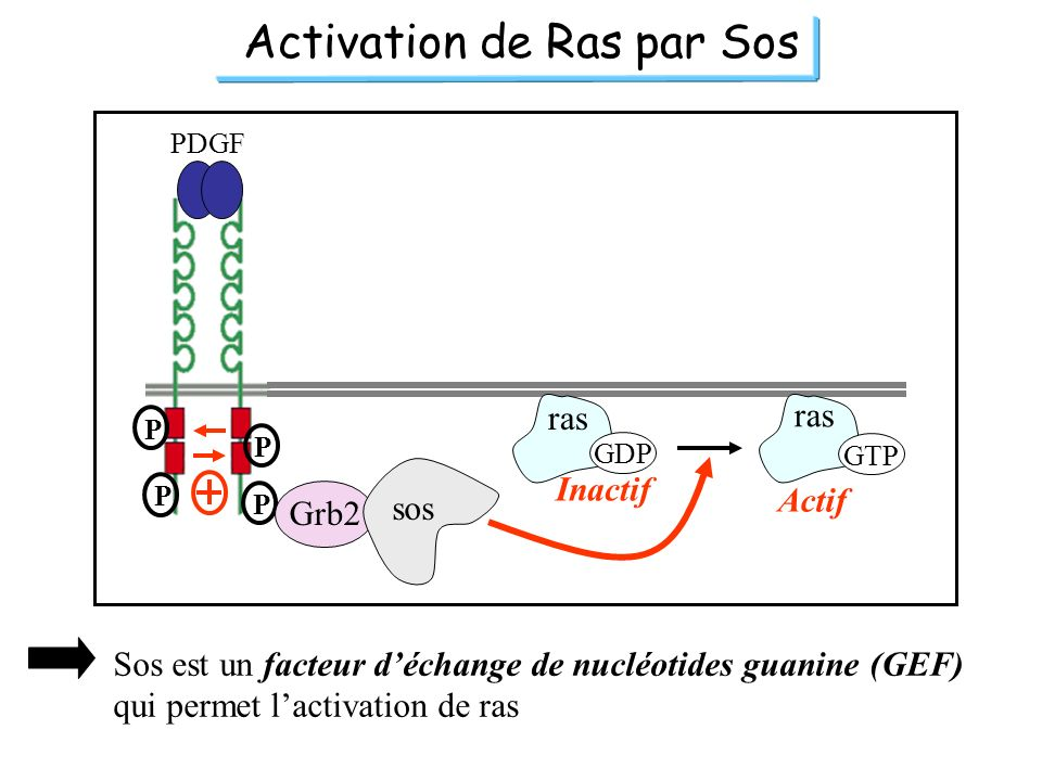 Activation de Ras par Sos