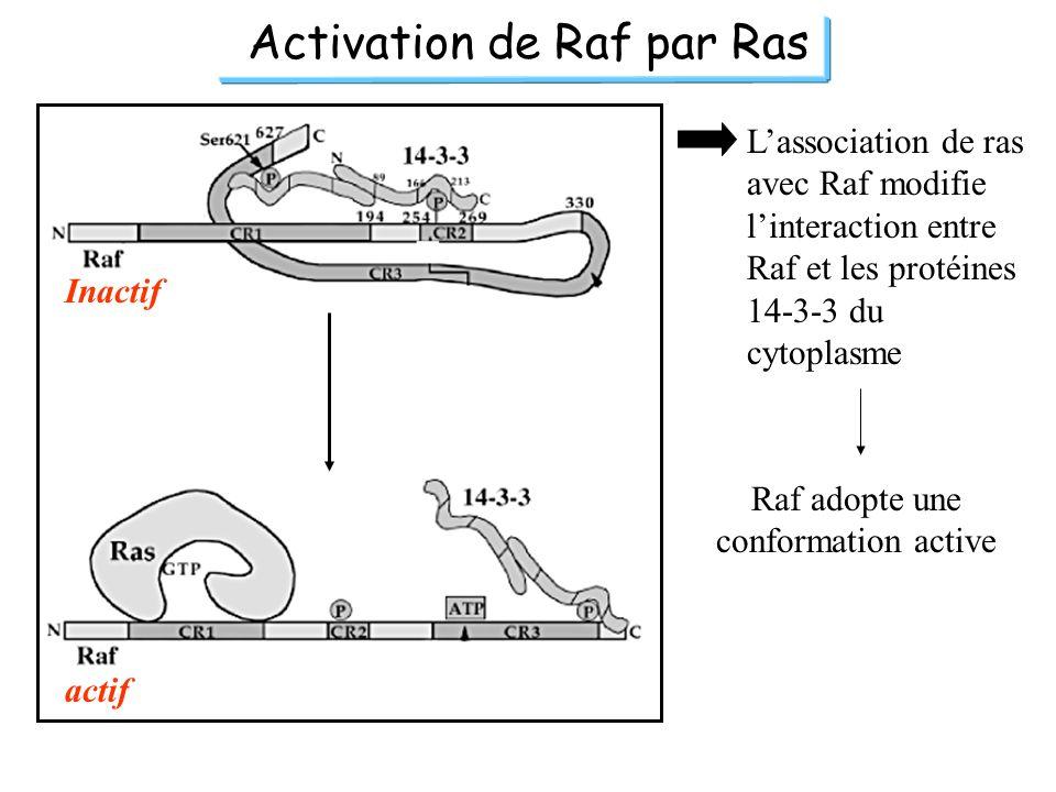 Activation de Raf par Ras