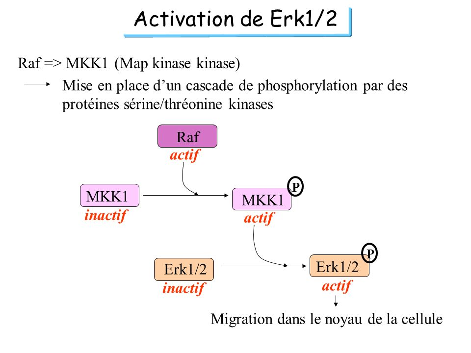 Activation de Erk1/2 Raf => MKK1 (Map kinase kinase)