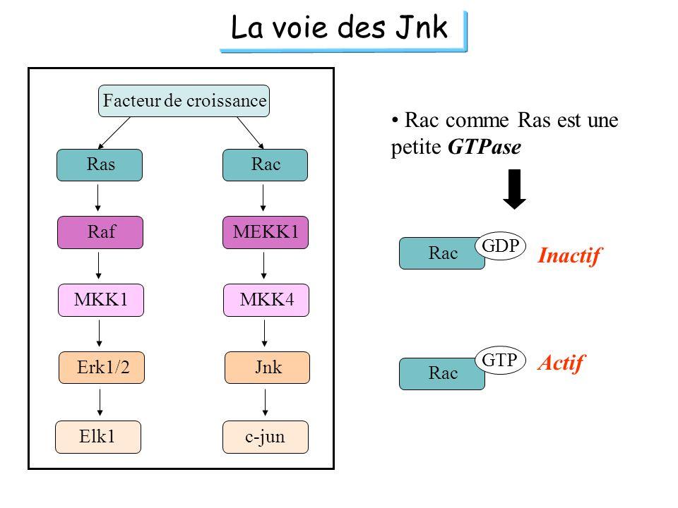 La voie des Jnk Rac comme Ras est une petite GTPase Inactif Actif