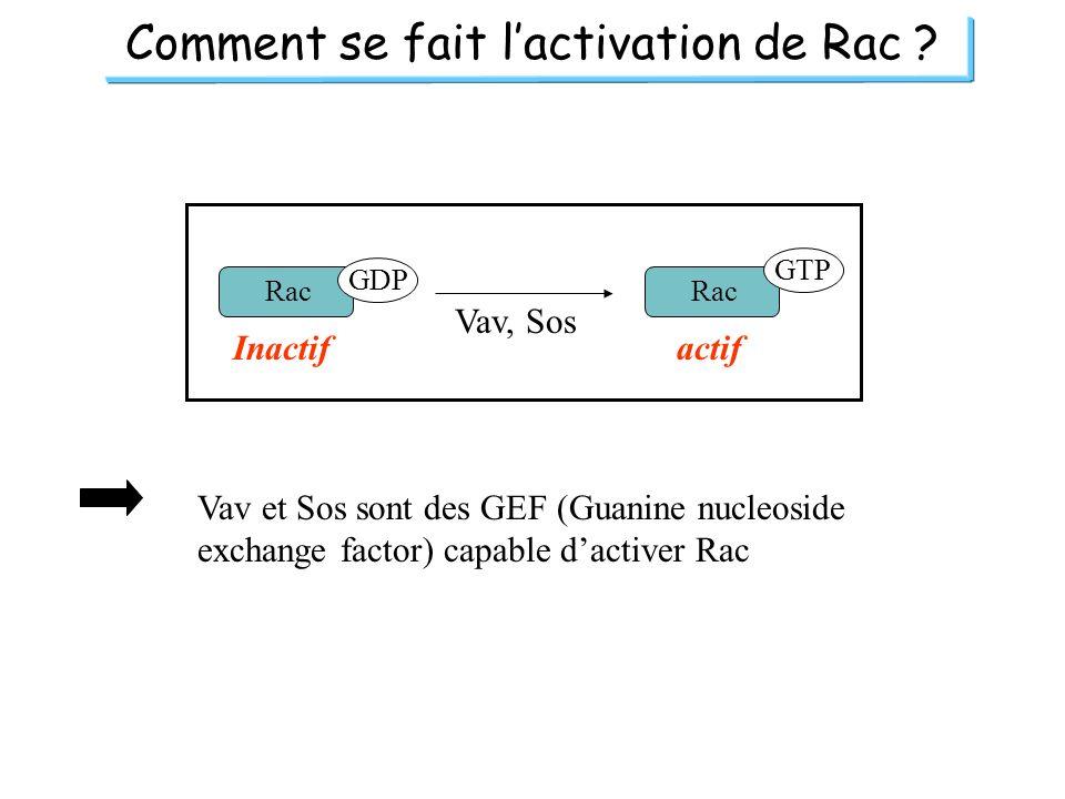 Comment se fait l'activation de Rac