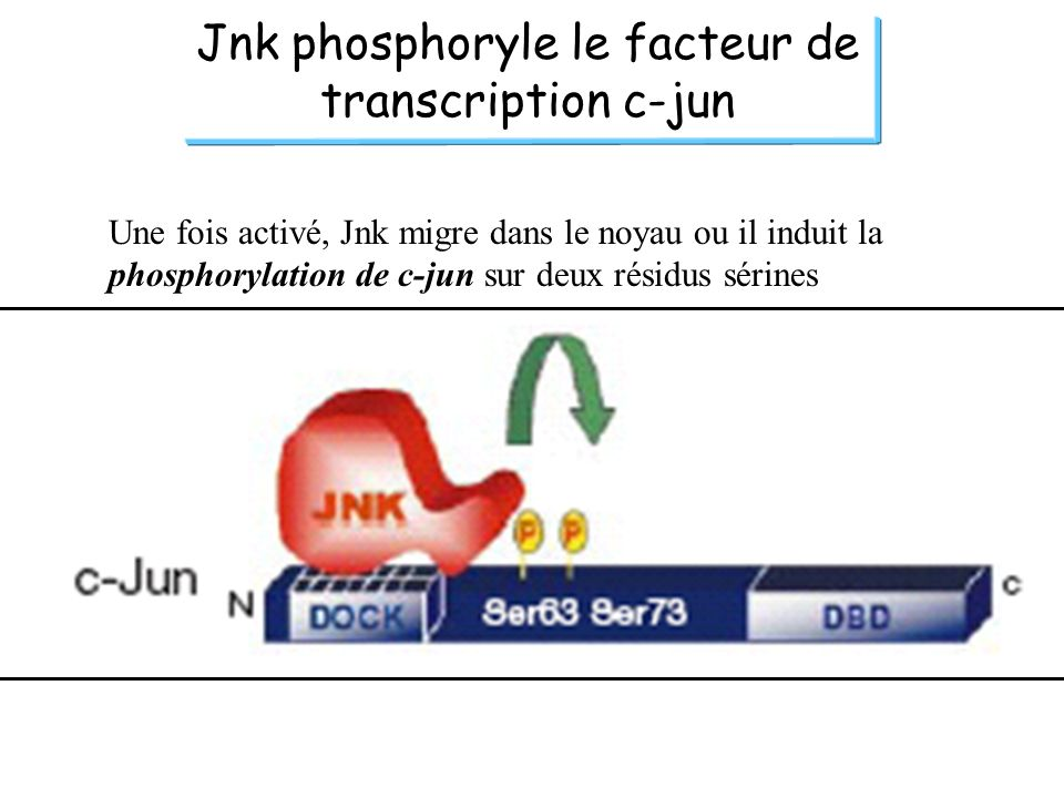 Jnk phosphoryle le facteur de transcription c-jun