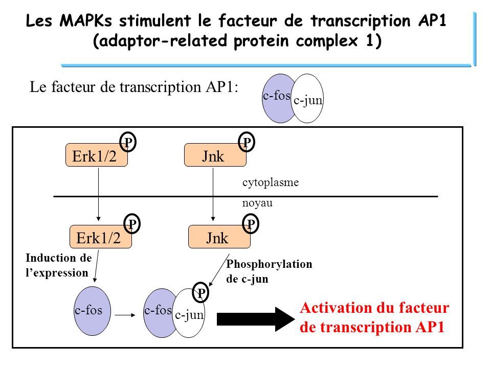 Le facteur de transcription AP1: